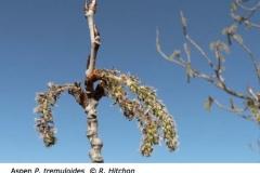 1-2-Aspen_Populus_tremuloides_RH_f