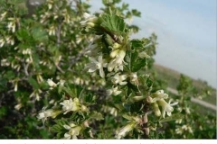 1-8-Northern_gooseberry_Ribes_oxyacanthoides_RH_f