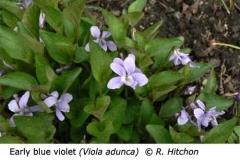 2-5-Early_blue_violet_Viola_adunca_RH_f